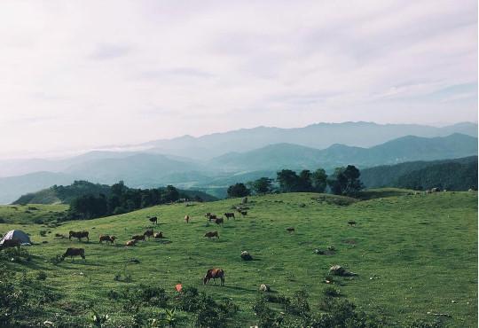 Khung cảnh nên thơ của những ngọn đồi nối tiếp nhau, những đàn trâu, bò, ngựa lang thang gặm cỏ. Đó chính là những gì Đồng Cao mang lại cho bạn, như cuộc sống của những du mục, của những người dân bản địa. Ảnh: Thu Hương.