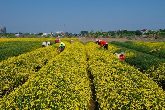 Cách trung tâm Hà Nội khoảng 25km nằm gần quốc lộ 5, thôn Nghĩa Trai vốn nổi tiến với làng nghề làm dược liệu. cứ vào độ cuối năm, cánh đồng của thôn lại vàng rực màu hoa cúc chi.