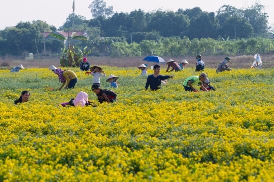 Từ khi trồng đến khi thu hoạch phải mất 5 tháng. Hoa chỉ nở trong vòng 15 ngày nên bà con nông dân phải tranh thủ hái đồng loạt để tránh hoa tàn.