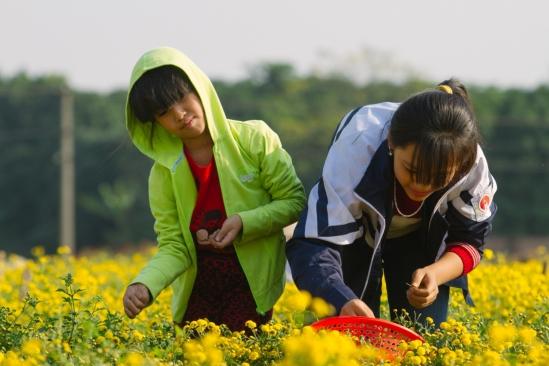 Tuy nhiên để kịp hái lúc hoa chưa tàn, nhiều gia đình huy động cả các em nhỏ tham gia cùng.