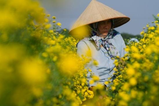 Người lớn nhiều kinh nghiệm sẽ là lực lượng chính để hái hoa