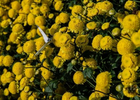 Cúc chi có hoa tròn, nhỏ, có màu vàng tươi, mùi thơm nhẹ dễ chịu và chỉ nở vào dịp cuối năm khi trời trở lạnh.