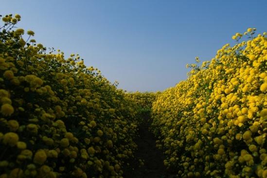 Đa phần các loài hoa cúc khác được trồng để làm cảnh, trang trí thì hoa cúc chi lại dùng chủ yếu để làm dược liệu có thể chữa được nhiều bệnh như thanh nhiệt, hạ hỏa, giải độc, bổ não...