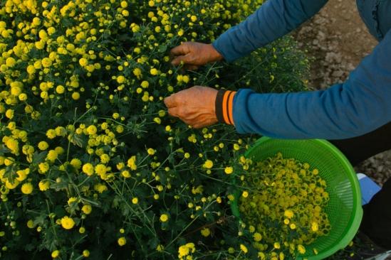 Hoa chất lượng tốt nhất khi nở vừa tới, không còn nụ và chưa tàn. Chỉ hái phần bông và bỏ phần cuống hoa.