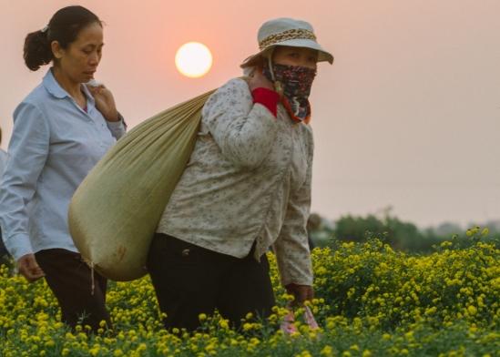 Người dân thường hái từ lúc sáng sớm, nghỉ trưa và hái tiếp đến chiều muộn. Người hái nhanh có thể hái được khoảng hơn 20 cân hoa mỗi ngày.