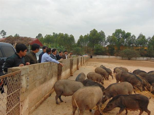 Các đại biểu Sở Nông nghiệp & PTNT Bắc Giang tham quan mô hình nuôi lợn rừng nhà ông Hoàng Bá Học