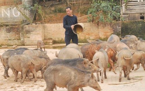 Đàn lợn rừng của gia đình ông Hoàng Bá Học