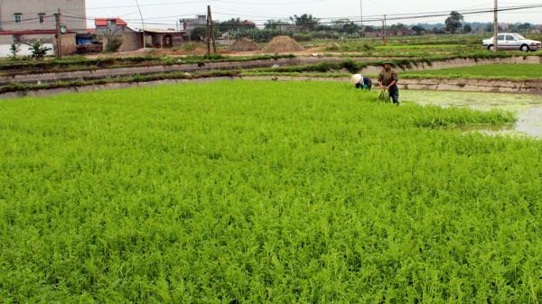 Vùng sản xuất rau cần VietGAP, xã Hoàng Lương (Hiệp Hòa).