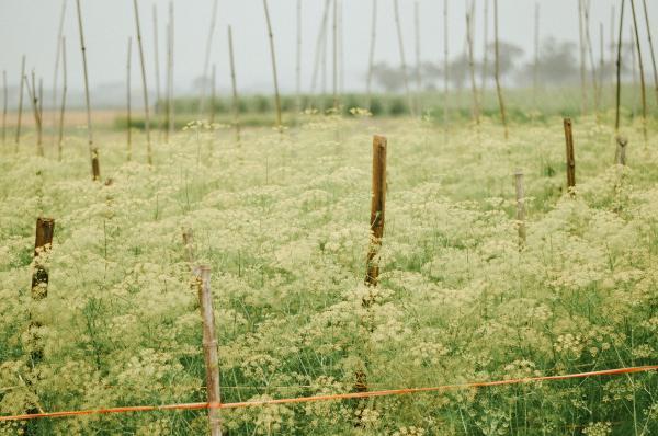 Cánh đồng hoa thì là ở Bắc Giang đang gây sốt vì ...quá ảo diệu