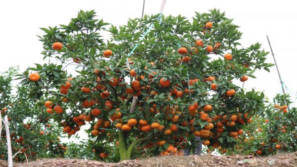 Nhiều cây cho thu gần tạ quả.