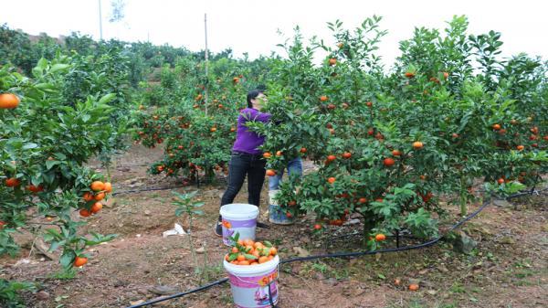 Việc tiêu thụ cam khá thuận lợi, tư thương từ Hà Nội về tận vườn thu hái.