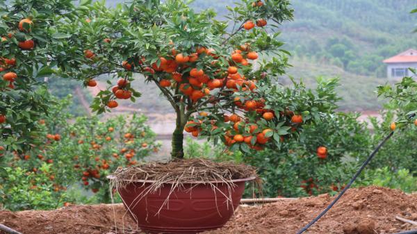 Một số cây có thế đẹp được đưa vào chậu để bán dịp Tết Nguyên đán tới đây, giá 1- 2,5 triệu đồng/cây.