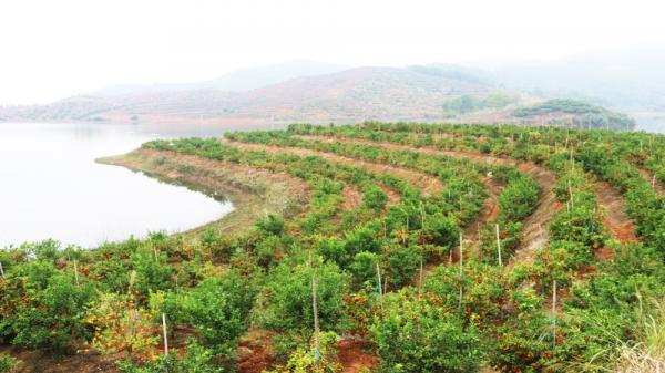 Vườn cam của gia đình chị Tư rộng khoảng 6 ha, trồng được 3 năm nay, nằm cạnh hồ Suối Nứa.