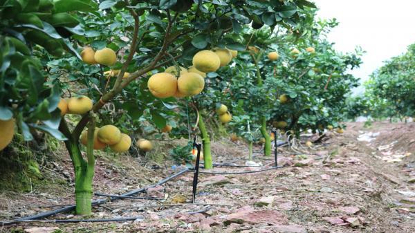 Ngoài trồng cam Đường Canh, khu đồi này còn được trồng cam V2, bưởi đào đường và chanh rừng.