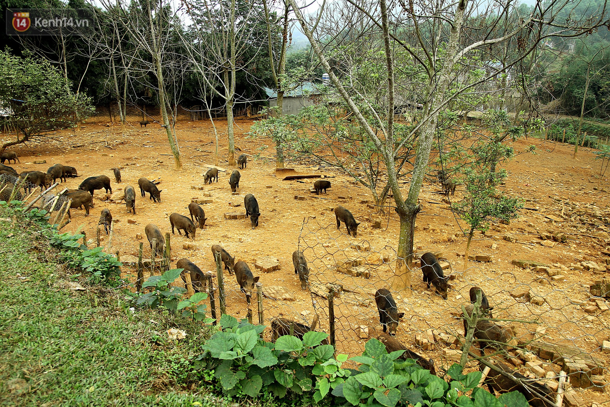 Trang trại nuôi lợn rừng rộng 2000 m2 của Tùng.
