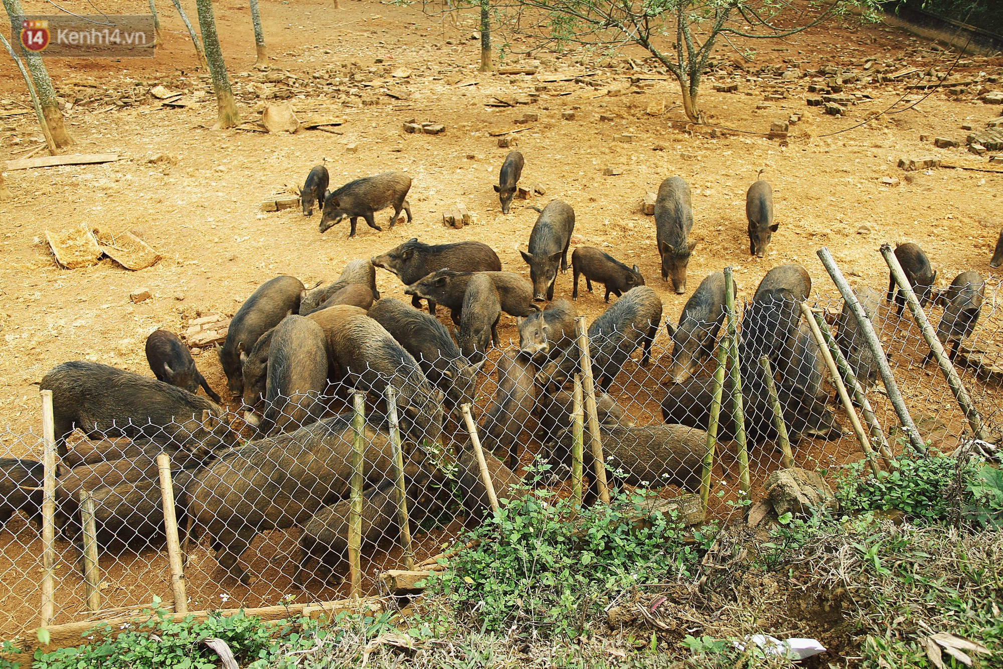Những chú lợn rừng được thả chạy lông rông hàng ngày.
