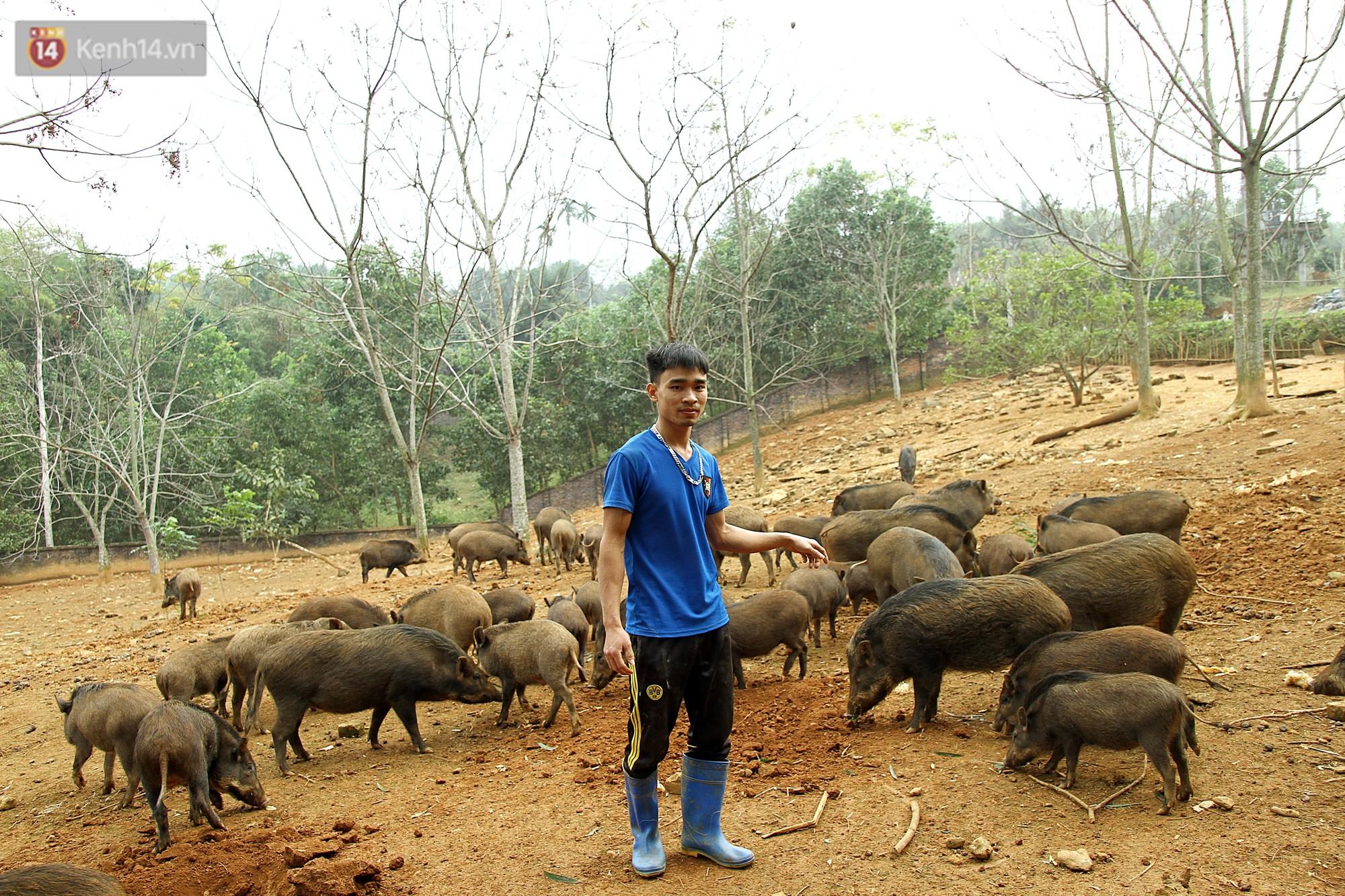 Tùng tập hợp cả đàn lợn bằng tiếng còi xe rất đơn giản.