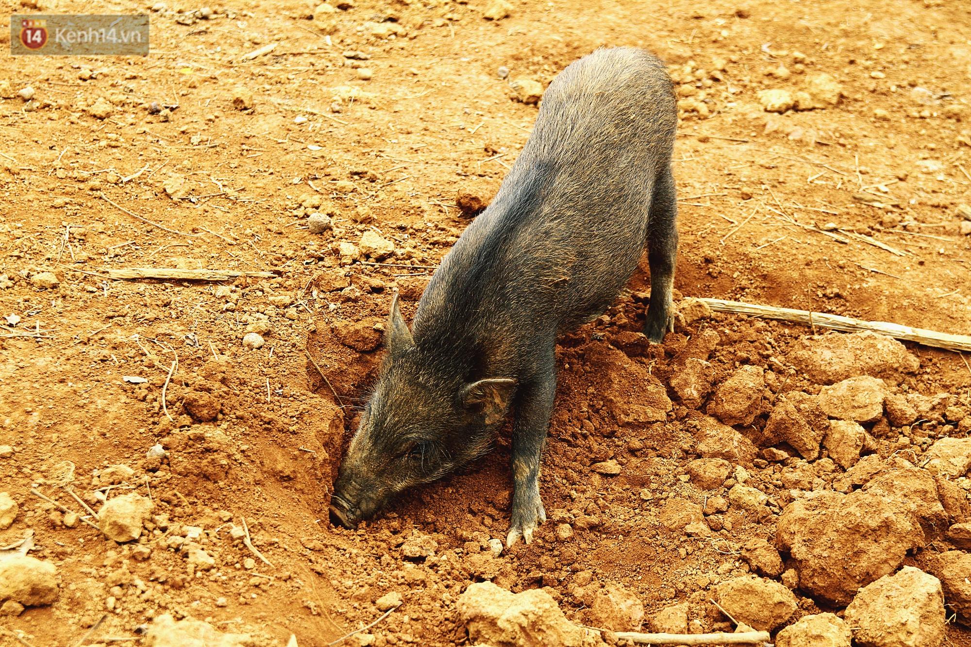 Chú lợn rừng hì hục ủi đất kiếm ăn.