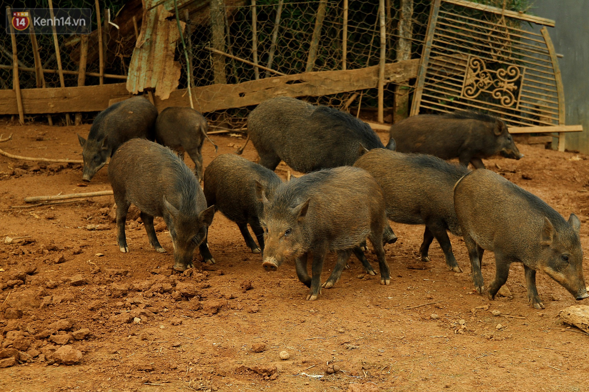 Cả đàn lợn thấy thức ăn đều lon ton chạy tới.