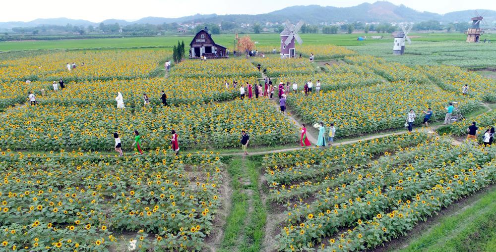 Toàn cảnh khu vực trồng hoa hướng dương.