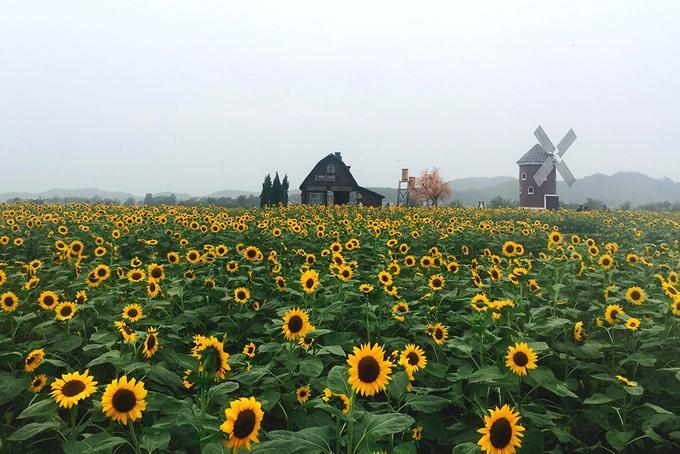 Cách trung tâm Hà Nội 55 km về hướng quốc lộ 1A, cánh đồng có diện tích gần 3 ha hoa hướng dương này nằm trong khuôn viên phim trường Rose Garden thuộc Bắc Giang. Hoa nở từ dịp lễ 30/4 vừa rồi và hiện thu hút nhiều du khách đến ngắm, chụp ảnh.