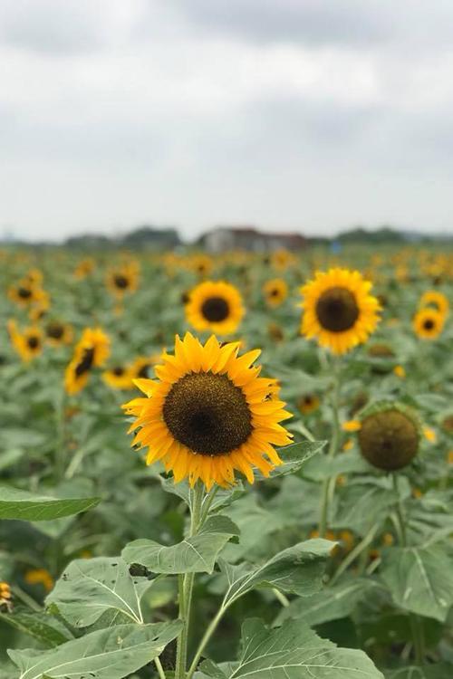 Chủ vườn hoa là anh Lê Văn Dương (phường Đa Mai, TP Bắc Giang). Anh cho biết, vì yêu thích loài hoa này mà anh đã đầu tư trồng, nâng cấp vườn thành phim trường chụp ảnh cưới.  Rút kinh nghiệm từ đợt trồng đầu tiên, anh Dương cho hay: