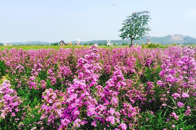 Ngoài hướng dương, vườn còn trồng nhiều loài hoa khác như thạch thảo, cúc...