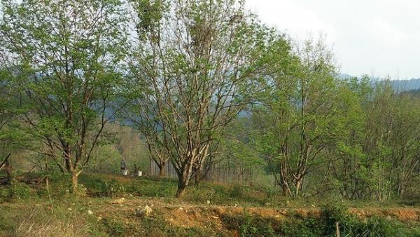 Dẻ là cây bản địa, chống chịu được thời tiết khắc nghiệt, phù hợp với thổ nhưỡng huyện miền núi cao Ngân Sơn (Bắc Cạn).