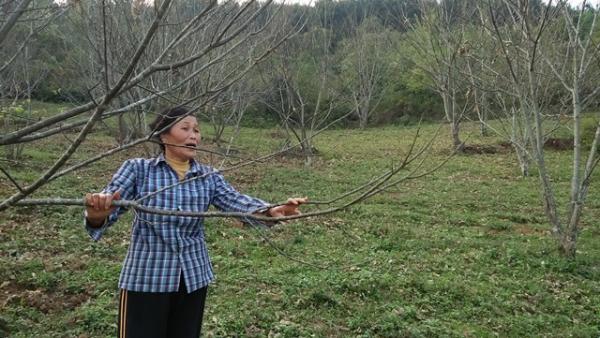 Đến năm thứ mười, mỗi cây dẻ của gia đình bà Tiệu cho thu nhập 500 nghìn đồng.