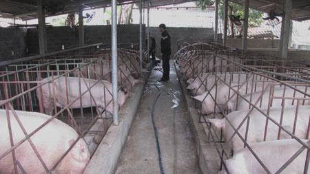 Mô hình chăn nuôi lợn nái quy mô lớn của đoàn viên Tống Xuân Hiếu ở xã Quảng Chu.