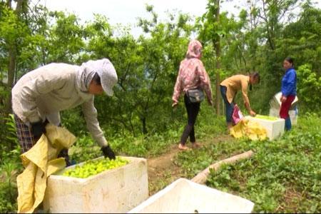 Người dân thôn Thôm Mèo, xã Xuân La thu hoạch mận.