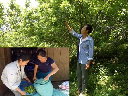 Thôn có hơn 10ha cây mận, trong đó có khoảng 6ha đã cho thu hoạch  Trong ảnh: Gia đình ông Ma Văn Thượng thu hoạch mận.