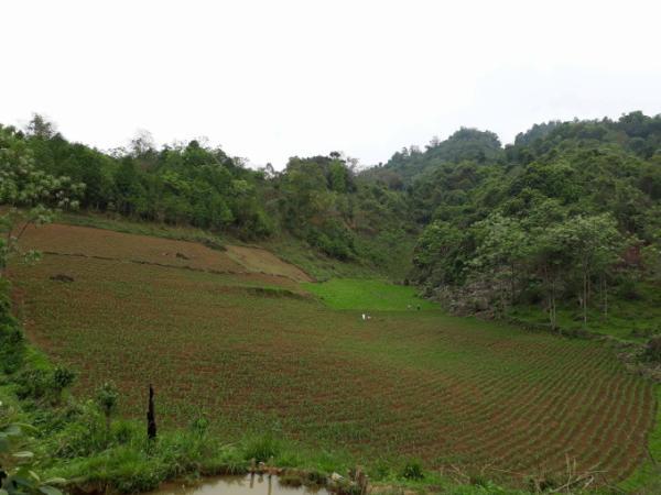 Hiện nay một số diện tích quy hoạch trồng chanh leo đã được người dân đã trồng ngô và các cây màu khác nên việc triển khai còn chậm.