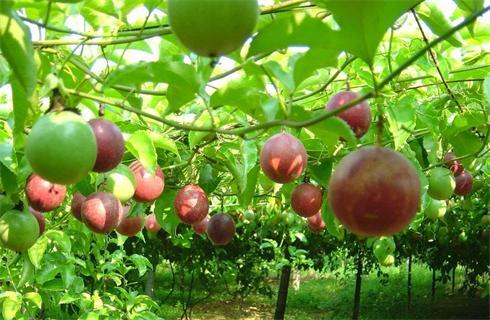 Đẩy mạnh phát triển trồng cây chanh leo, hướng đi mới của người dân Bắc Kạn.