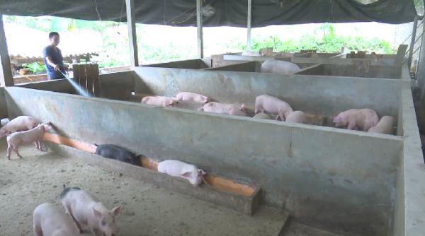 Nhiều hộ vẫn cố gắng duy trì đàn lợn chờ giá lợn tăng mới bán
