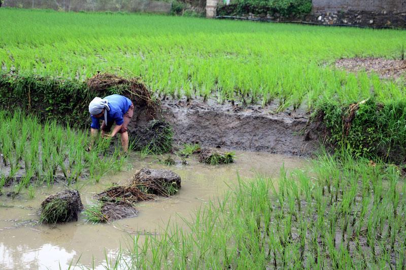 Mua to gây xói lở nhiều diện tích lúa và bờ bao của xã Mỹ Phương