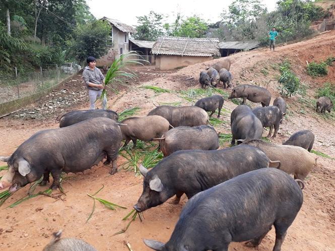 Lợn rừng chuẩn được về với rừng tỏ ra đặc biệt thích nghi với môi trường trang trại của Phúc