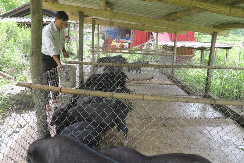Chăn nuôi lợn bản địa giúp gia đình ông Bảo có nguồn thu nhập ổn định.