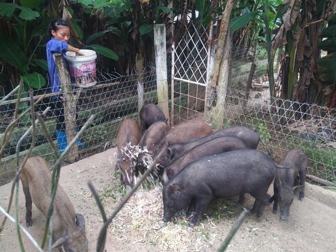 Nuôi lợn rừng bằng thân chuối lá thái nhỏ
