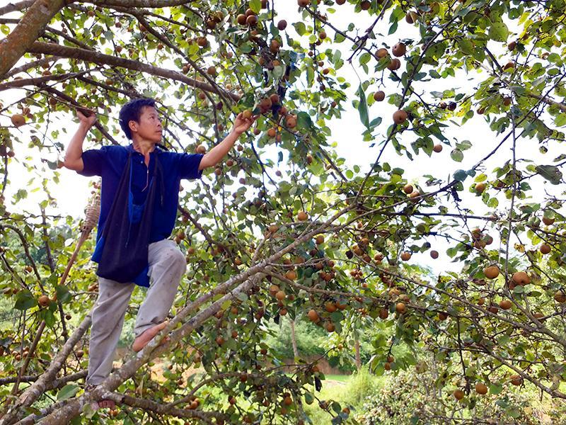 mỗi năm gia đình ông Triệu Văn Hoa, thôn Bản Cám có thu nhập trên 10 triệu đồng từ trồng lê.