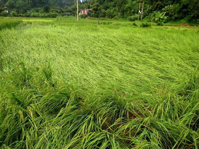 Một phần lúa bị đổ ở xã Quân Bình do mưa gió to