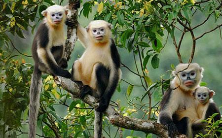 Voọc mũi hếch- động vật đặc hữu của vùng rừng núi Na Hang, Lâm Bình của tỉnh Tuyên Quang.