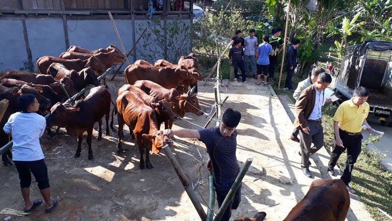 bò giống được bàn giao tại xã Nhạn Môn.