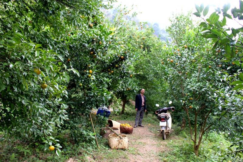 Vườn cây ăn quả cam, quýt hàng nghìn gốc sai trĩu quả của gia đình ông Nông Thanh Bộ