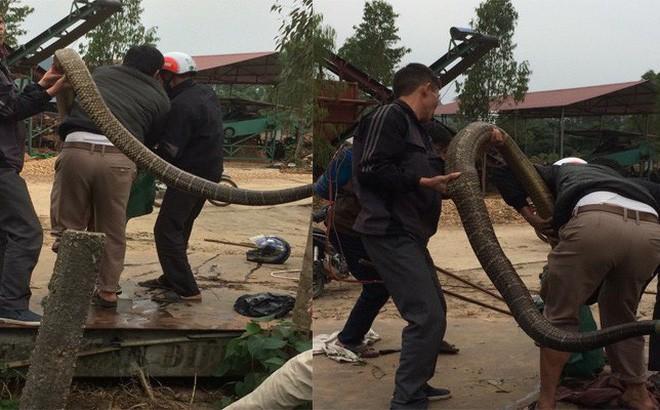 Người dân bắt được con rắn khủng nặng khoảng 20kg.