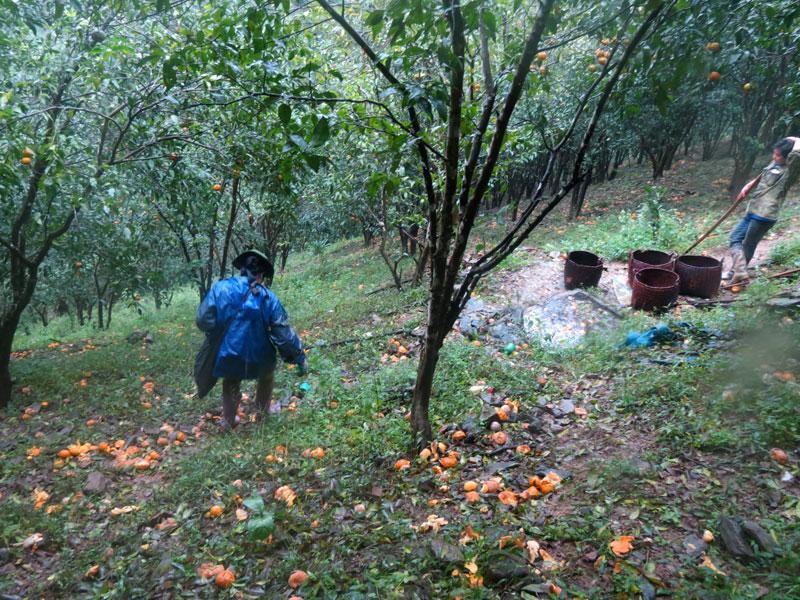 Quýt rụng đầy vườn tại gia đình anh Hoàng Văn Hữu ở thôn Nà Đinh (xã Quang Thuận)