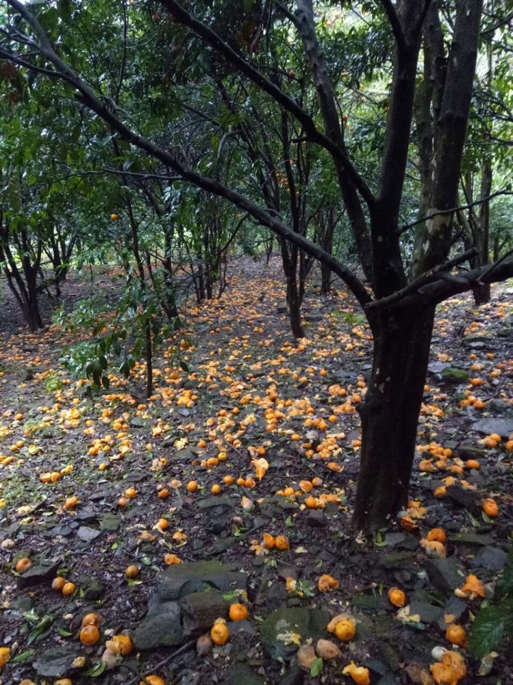 Một vườn quýt rụng vàng hết cả gốc cây