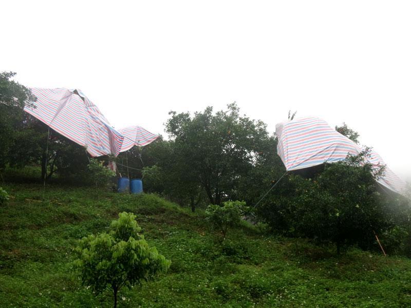 Vườn cam sành ở Dương Phong được phủ bạt để tránh ảnh hưởng của thời tiết khắc nghiệt