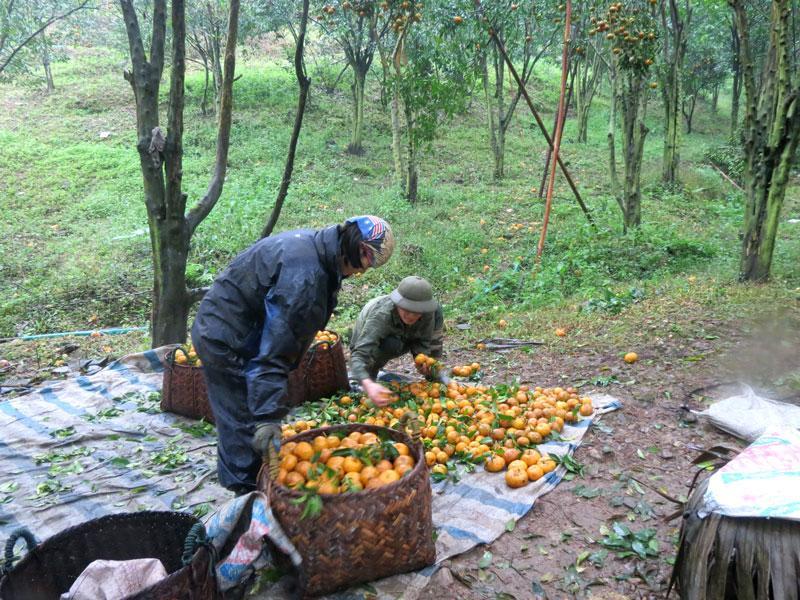 Chủ vườn quýt Triệu Văn Thành ở thôn Khuổi Cò, xã Dương Phong đang tranh thủ thu hái quýt bán trong mấy ngày mưa