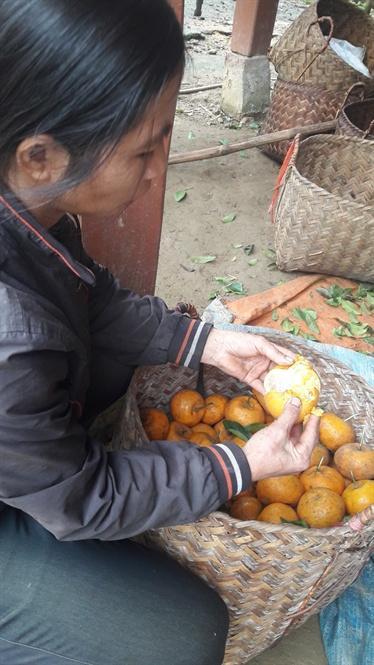 Chị Đinh Thị Chuyên cho biết những quả còn sót lại trên cây, hái xuống cũng bị thối như này